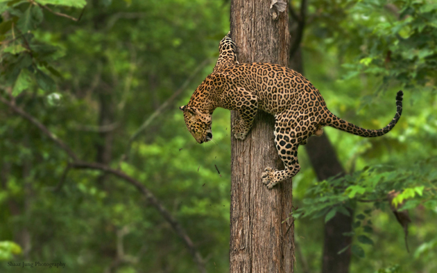 Leopard vs WIld Dogs by Shaaz Jung