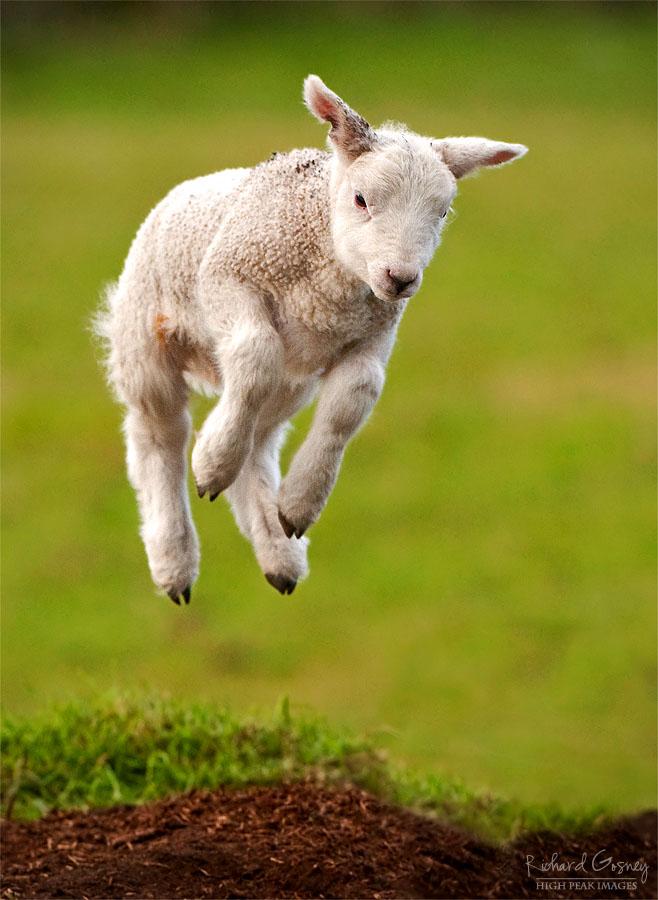 cute photographs of lamb