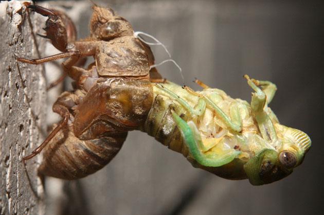 Cicada Emerges
