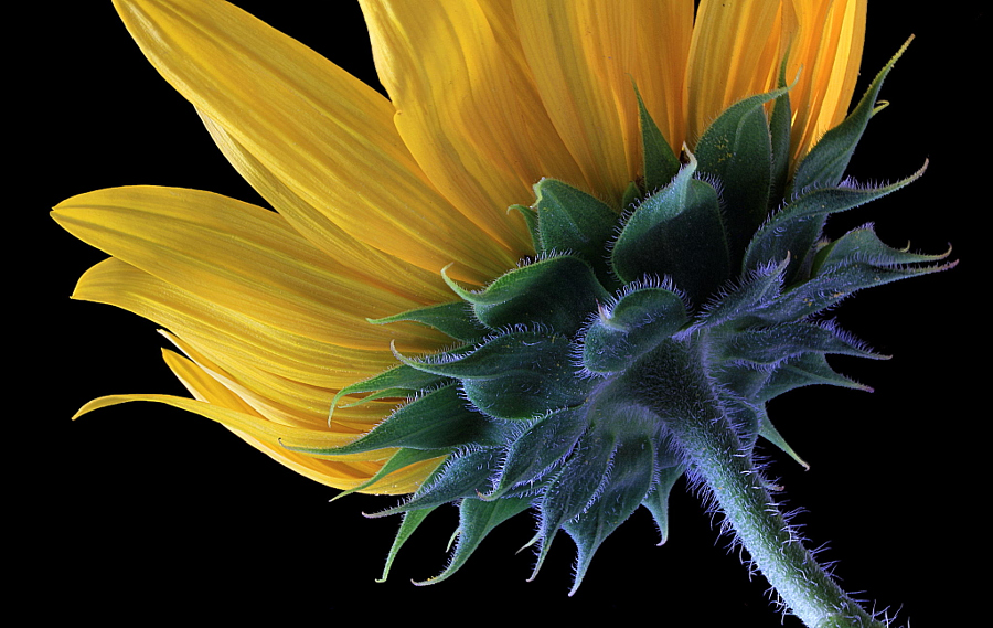 Sunflower by Vendenis on 500px