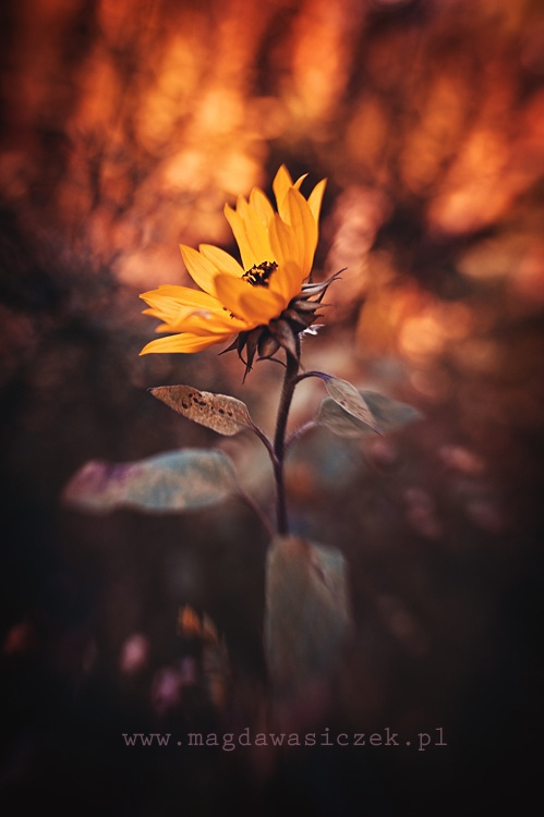 Z-Sunflower by Magda Wasiczek on 500px