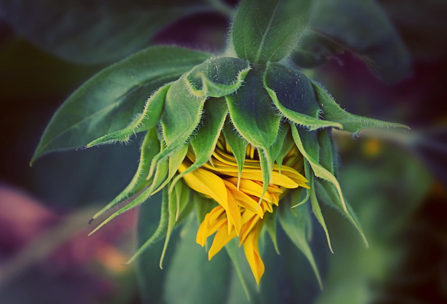 baby sunflower by Magda DJM on 500px