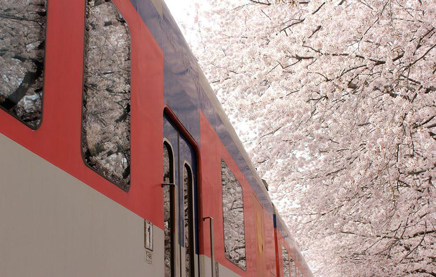 Cherry Blossom in Japan from National Geographic (7)