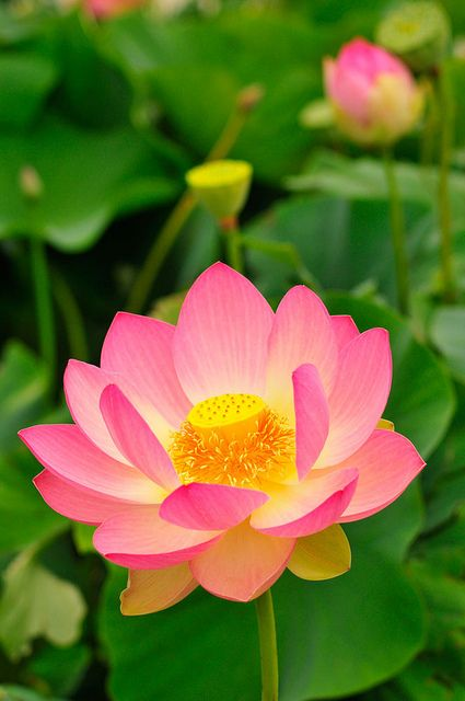 Beautiful Collection Of Colorful Lotus (10)