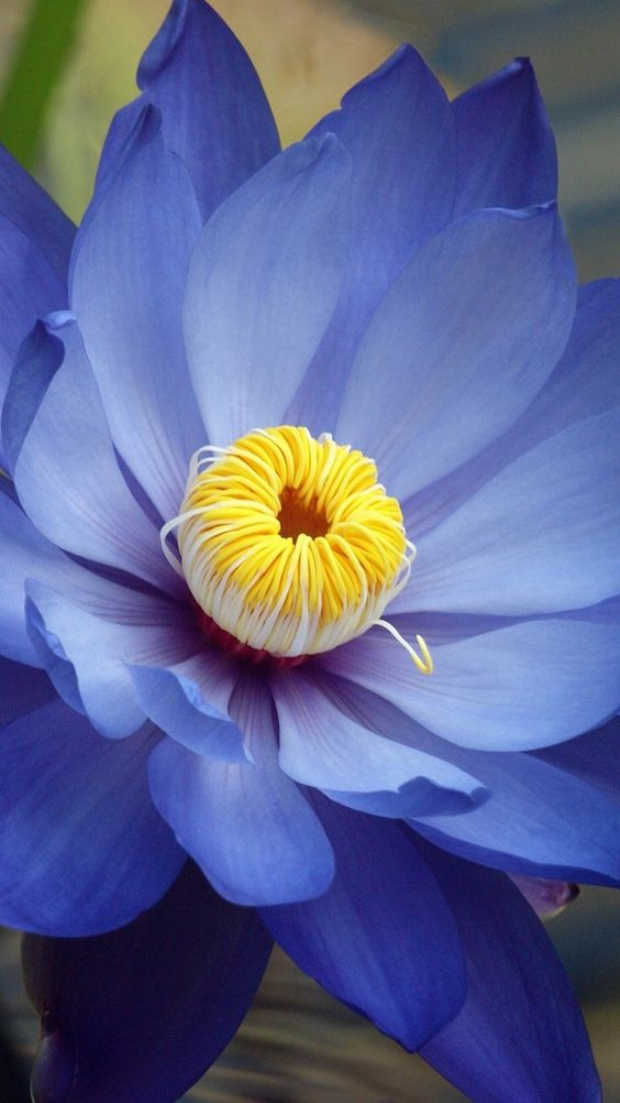 Beautiful Collection Of Colorful Lotus (12)