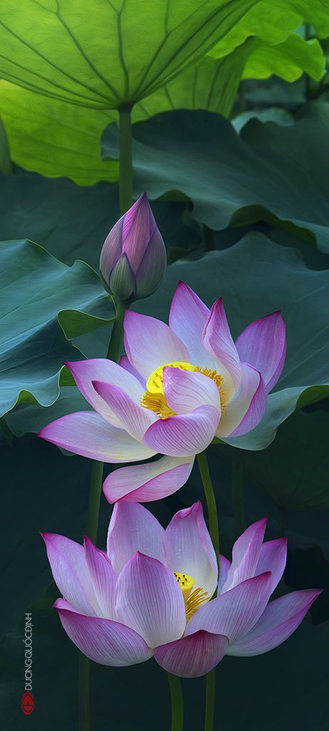 Beautiful Collection Of Colorful Lotus (15)