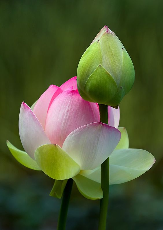 Beautiful Collection Of Colorful Lotus (16)