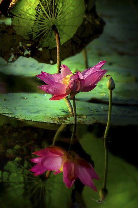 Beautiful Collection Of Colorful Lotus (5)