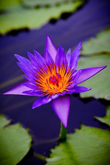 Beautiful Collection Of Colorful Lotus (6)